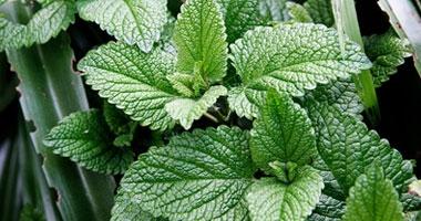 5 فوائد للنعناع الأخضر الطازج أهمها تسكين الألم