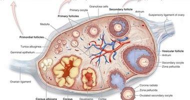للنساء.. اختبار جديد لتشخيص سرطان المبيض بدقة 80%