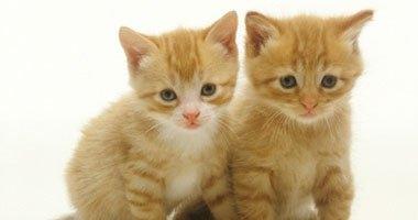 دراسة خطيرة: اقتناء القطط يعرضك للإصابة بالجلوكوما وفقدان البصر