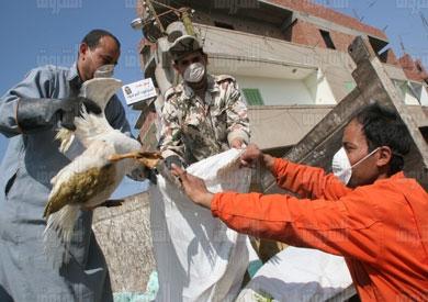 بؤر وإصابات جديدة بإنفلونزا الطيور فى ٣ محافظات