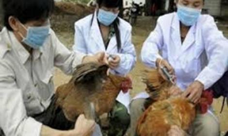 ظهور أول بؤرة إنفلونزا الطيور بالمنوفية  اقرأ المقال الاصلى فى المصريون