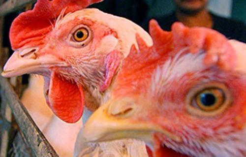 عقب ظهور حالة إيجابية.. مديرية الصحة بالمنوفية تواصل الحملات لمواجهة أنفلونزا الطيور