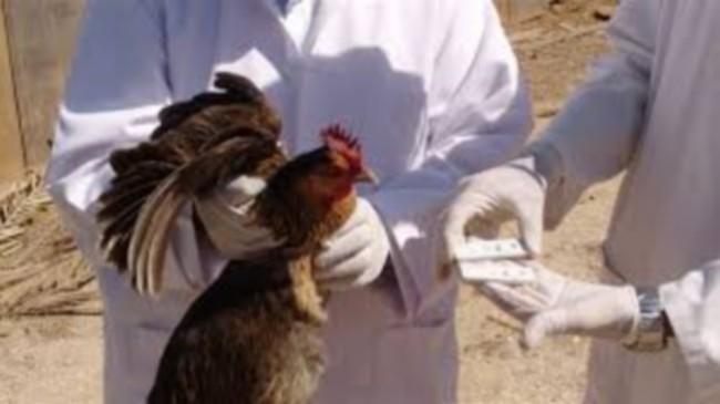 الزراعة: ظهور 21 بؤرة جديدة مصابة بمرض أنفلونزا الطيور فى 14 محافظة