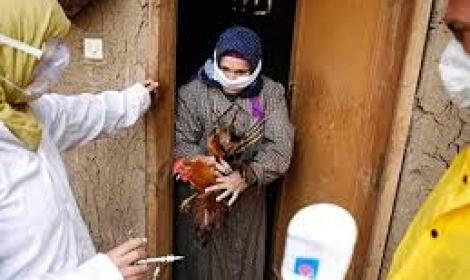 استنفار بأجهزة الدولة بعد تفشي «أنفلونزا الطيور» بالمحافظات  اقرأ المقال الاصلى فى المصريون