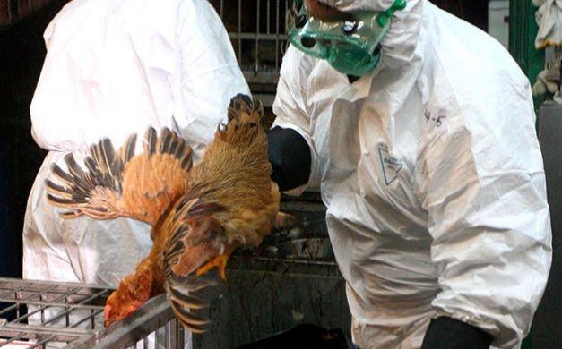 الصحة: إصابة جديدة بإنفلونزا الطيور في الفيوم وشفاء 4